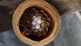 Hornissenzufuhr ihre Larven stock footage