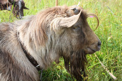 Hornless brown goat Stock Photo