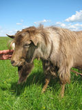 Hornless brown goat Royalty Free Stock Images