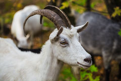 Hornless brown goat at the meadow Royalty Free Stock Images
