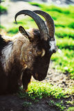 Hornless brown goat at the meadow Stock Photography
