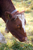 Hornless Cow 1 Stock Photo
