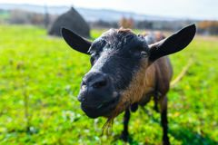 hornless female tribal goat of brown color of English breed on m stock image