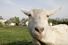 Hornless goat. Looking into the camera. In the background - the rural landscape Royalty Free Stock Images