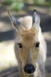 Hornless hjortnärbild i lös natur Fotografering för Bildbyråer