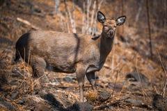 Hornless Reindeer at zoo Royalty Free Stock Photos
