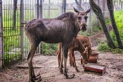 Hornlose Rotwild mit zwei jungen Rotwild Lizenzfreie Stockfotografie