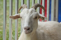 Horns Adult Goat Royalty Free Stock Images