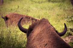 Horns of bison Stock Images