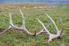 Horns of a deer Royalty Free Stock Photo