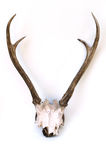 This is horns of deer very well kept. Royalty Free Stock Photos