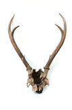 This is horns of deer very well kept. Royalty Free Stock Image