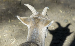 Horns of a female mountain goat Royalty Free Stock Photography