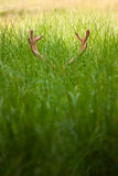 Horns in the grass Royalty Free Stock Photography