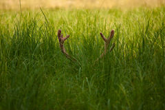 Horns in the grass Stock Photography