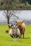 Horns and Horns - Shape and Cattle, Scotland Royalty Free Stock Photos