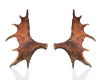 Horns of a large elk. Royalty Free Stock Photo