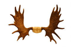 Horns Of Moose Royalty Free Stock Image
