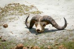 Horns on the savannah Stock Photos