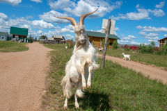 Horns in the sky. Goat with big horns in a combat position stock photography