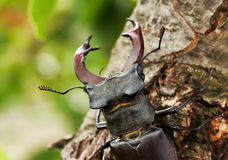 Horns of a stag beetle Royalty Free Stock Photo