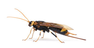 Horntail or wood wasp against white background Stock Images