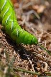 hornworm ντομάτα λάβας Στοκ φωτογραφία με δικαίωμα ελεύθερης χρήσης