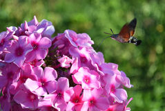 Hornworm butterfly drinking nectar from of phlox Stock Photography