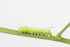 Hornworm de tabac Photos stock