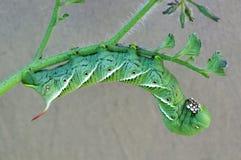 Hornworm do cigarro Fotos de Stock Royalty Free