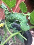 Hornworm na Pomidorowej roślinie Zdjęcia Stock