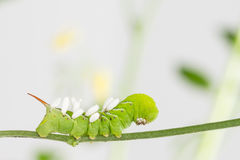 Hornworm with parasite pupae Royalty Free Stock Photos