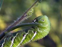 Hornworm que forrageia na planta de tomate Fotografia de Stock Royalty Free