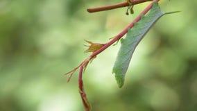 Hornworm verde Caterpillar che pende dalla vite, fine, 4K stock footage