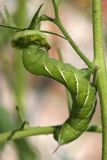 Hornworm vert de tomate Photographie stock