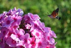 Hornwormvlinder het drinken nectar van van flox Stock Fotografie