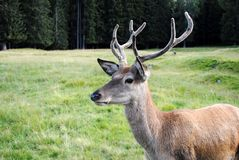 Horny male deer  in mountain landscape Stock Photos