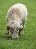 Horny ram Stock Image