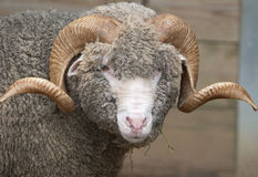 Horny Sheep Stock Photo