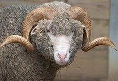 Horny Sheep. Marino Sheep with curly horns seen at Sydney zoo Stock Photo