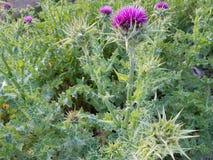 Silybum marianum. Plants, garden plants royalty free stock photography
