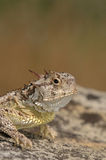 Horny Toad Royalty Free Stock Photo