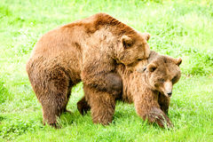 Horny Wild Brown Bears Mating. Male And Female Brown Bears Mating In Spring Time Stock Images