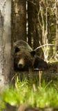 horribilis för arctosbjörngrizzly som ta sig en tupplur ursusen Fotografering för Bildbyråer