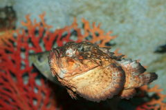 Horrid stonefish (synanceia horrida) Stock Photo