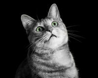 Horrified Tabby Cat in Black and White with Green Eyes Royalty Free Stock Photography