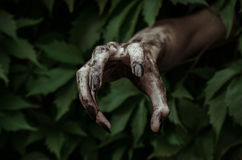 Horror and Halloween theme: terrible dirty hand with black fingernails zombie crawls out of green leaves, walking dead apocalypse. Studio Royalty Free Stock Image