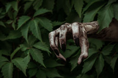 Horror and Halloween theme: terrible dirty hand with black fingernails zombie crawls out of green leaves, walking dead apocalypse Stock Photo
