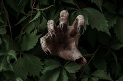 Horror and Halloween theme: terrible dirty hand with black fingernails zombie crawls out of green leaves, walking dead apocalypse. Studio Royalty Free Stock Images