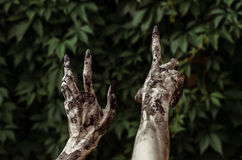 Horror and Halloween theme: Terrible zombie hands dirty with black nails reaches for green leaves, walking dead apocalypse, first-. Person view studio royalty free stock photography